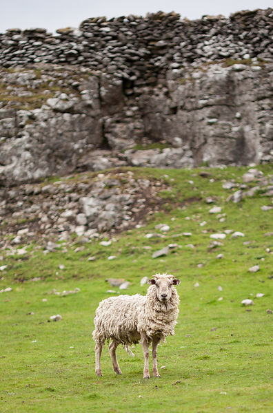 Shaggy sheep near rocks