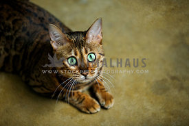 Bengal kitten with green eyes lying on concrete looking at camera