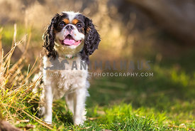 a happy cavalier smiles in the grass