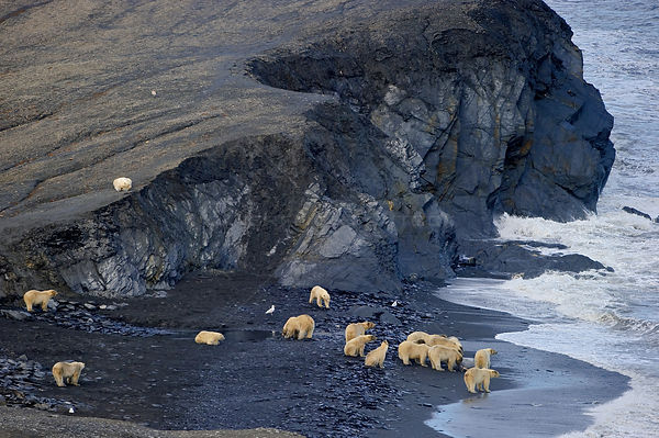 Polar bear (Ursus maritimus) group on beach with Walrus carcass, Wrangel Island, Far Eastern Russia, September.