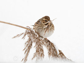 Reed Bunting Emberiza schoeniclus feeding in snow covered reedbed North Norfolk February