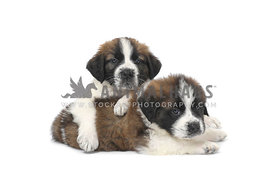St. Bernard puppies lying on white background