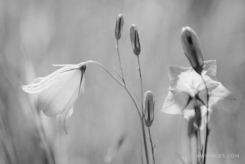 BLUE HAREBELL ROCK ISLAND WISCONSIN BLACK AND WHITE