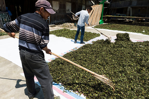 Wang family baicha (white tea) tea growers, Gunning village, Fuding, Fujian