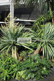 Dracaena draco, Dragon tree. Philodendron bipinnatifidum, Jardin exotique, Jardin contemporain. Designers : David Cubero et J...