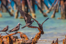 Brown Noddy in Dry Tortugas National Park