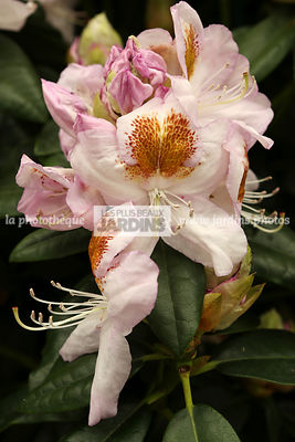 Rhododendron 'Mrs TH Lowinsky'