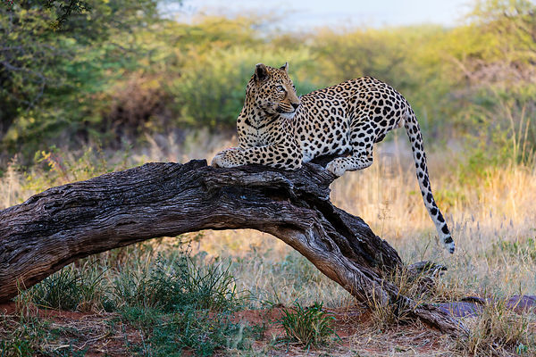 Male Leopard on a Tree Trunk