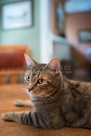 tabby cat sitting on a wooden table
