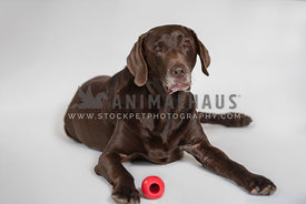 older chocolate lab lying down with red kong next to him