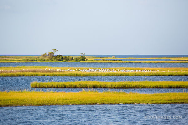 CHINCOTEAGUE BAY MARSH WETLANDS WHITE HERONS ASSATEAGUE NATIONAL SEASHORE MARYLAND