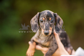 Holding a cute merle miniature Dachshound puppy with big eyes