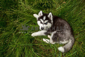 husky puppy laying in long grass looking up at camera