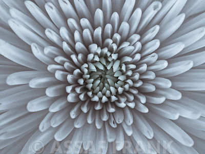 Close-up of Chrysanthemum flower, full frame
