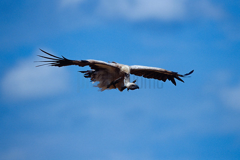 White Backed Vulture Flying in to Carcass