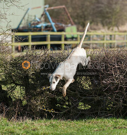 A Cottesmore hound jumping the first hedge