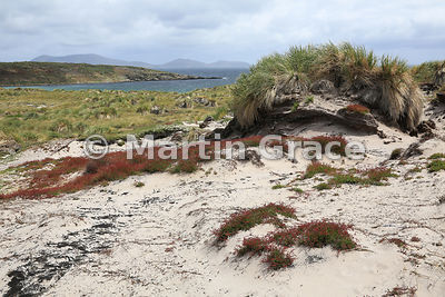 Sheep's Sorrel (Rumex acetosella) on sand dune habitat with Tussac (Poa flabellata) behind, Carcass Island, Falkland Islands