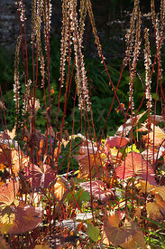 Autumn foliage and stems of Ligularia