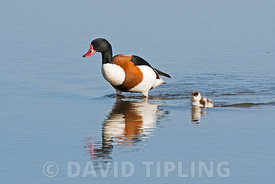 A male Common Shelduck,  Tadorna tadorna escorts a straggling chick across the scrape at Cley Norfolk Wildlife Trust Reserve,...