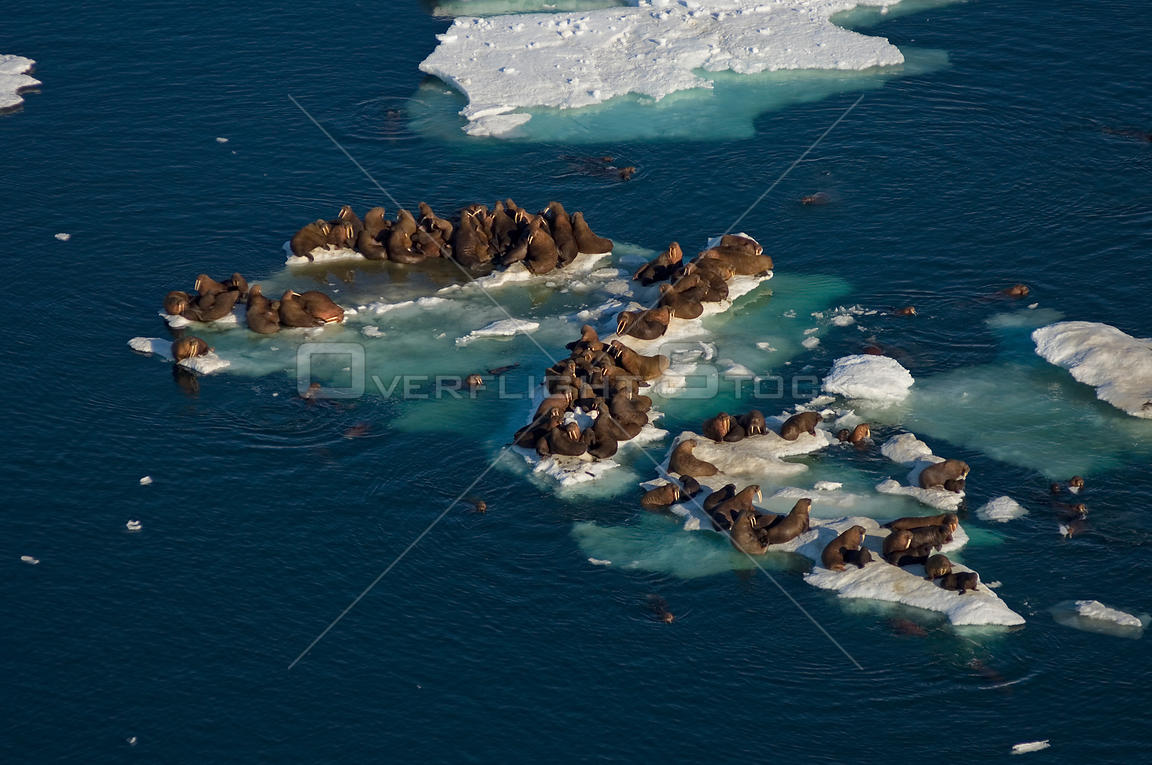 Walrus (Odobenus rosmarus) herd resting on and swimming around chunks of pack ice during the spring breakup. Chukchi Sea, off...