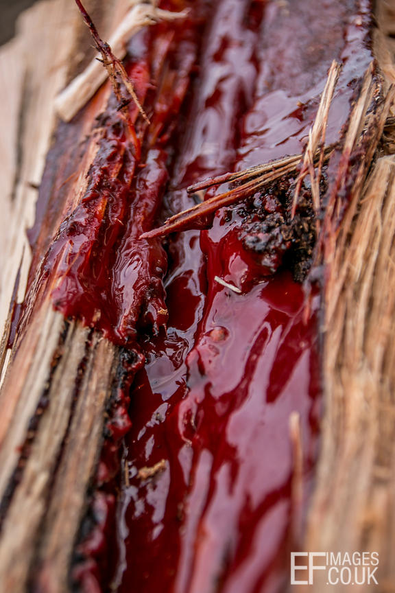 What we found inside some of the logs we were chopping was surprisingly like blood.
