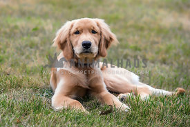Beautiful golden retriever puppy laying in grassy field.