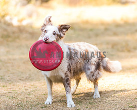 red merle border collie holding a red frisbee in her mouth