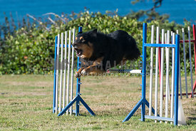 black and tan Austrailian Shepherd jumping over a jump on the grass with the ocean in the background