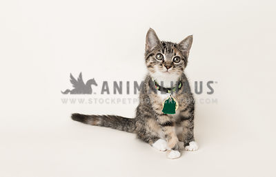 rescue tri-color tabby cat on bone background