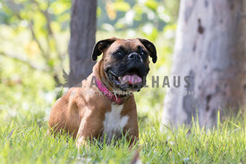 happy boxer sitting in grass