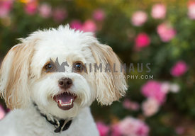 happy white poodle mix smiling with flowers