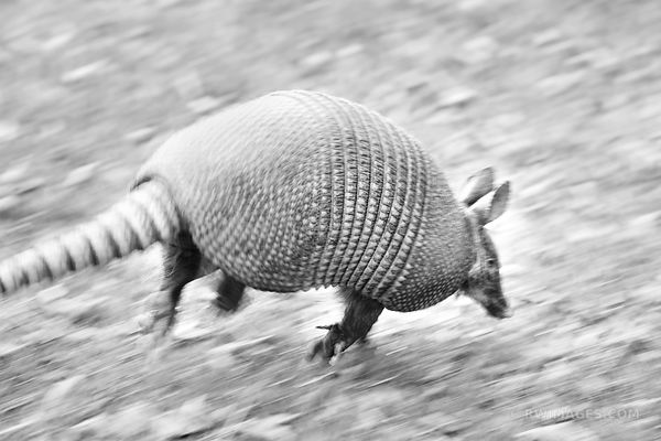 ARMADILLO ESCAPE CUMBERLAND ISLAND GEORGIA BLACK AND WHITE