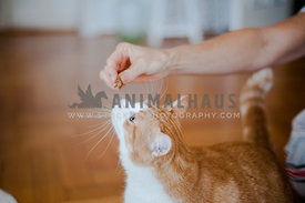 Bicolor red and white cat getting treats from her owner