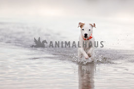 Terrier running in lake