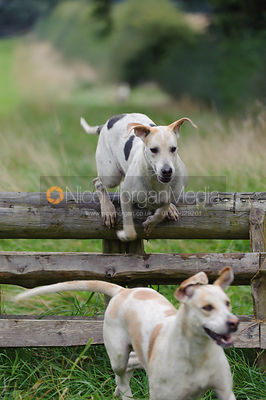Cottesmore hounds jumping a hunt jump