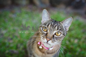 Tabby cat with intense stare