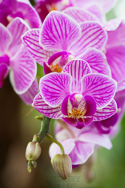 Purple Striped Orchids