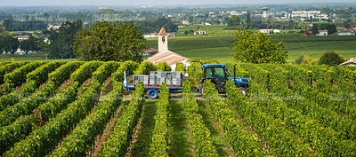 Harvesting red grapes in vineyards of Saint Emilion, Bordeaux