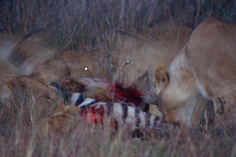 Lions Eating a Zebra carcass after Dark