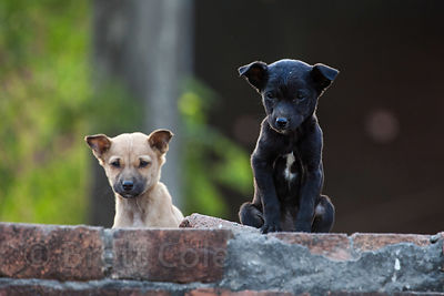Stray dog puppies on a brick wall near Nagwa Ghat, Varanasi, India.