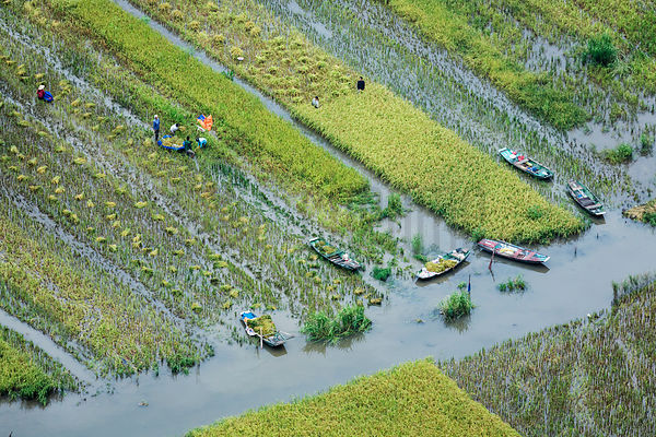 Elevated View of Workers Harvesting in the Rice Paddies