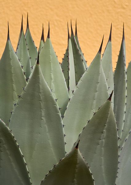 Agave and Yellow Wall