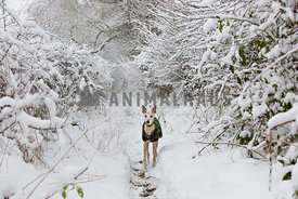 whippet dog with coat on forest path in the snow looking up