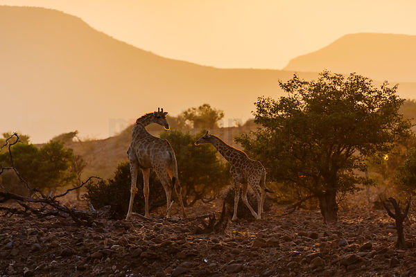 Giraffes at Sunrise in the Palmwag Concession