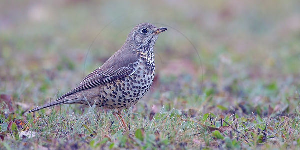 Grive musicienne - Song Thrush (Turdus philomelos)