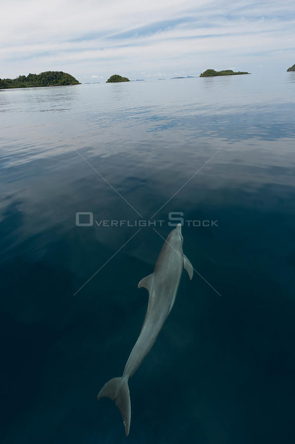 Indo-Pacific bottlenose dolphin (Tursiops aduncus) just below sea surface in flat calm  water. Raja Ampat, West Papua, Indone...