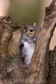 Grey Squirrel Sciurus carolinensis in woodland Norfolk