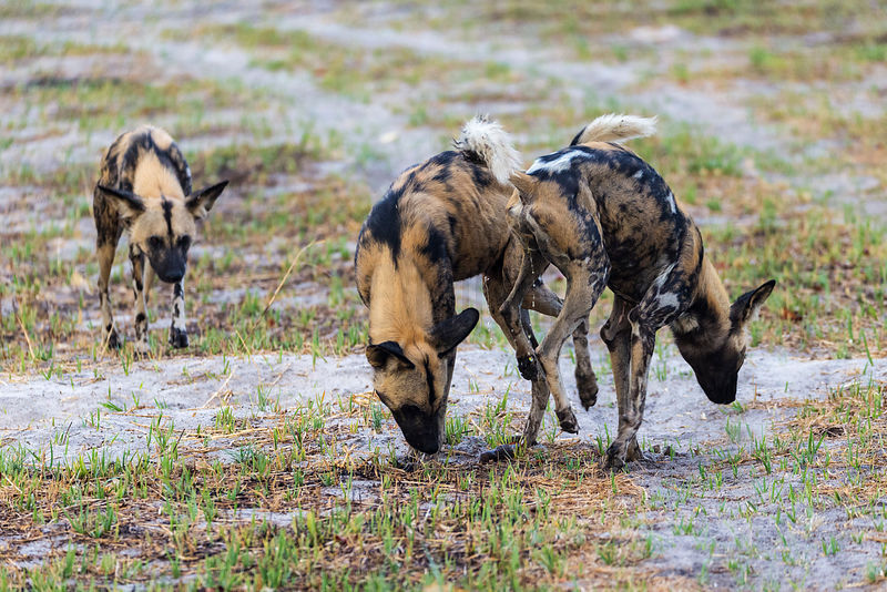 Wild Dog Greeting and Scent Marking