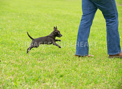 Male black Chihuahua mix outside in grass
