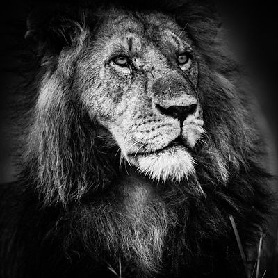 Portrait de lion © Laurent Baheux
